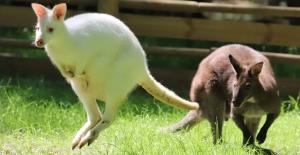Ormanya'ya yeni sevimli kangurular geldi