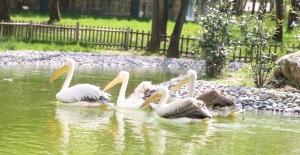 Ormanya'nın yeni sakinleri ''Pelikanlar''